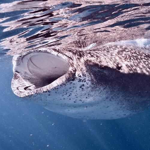 el tiburon ballena en el caribe