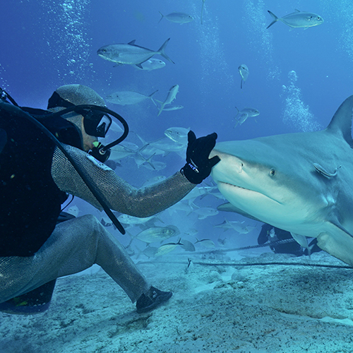 buceo para alimentar tiburón toro
